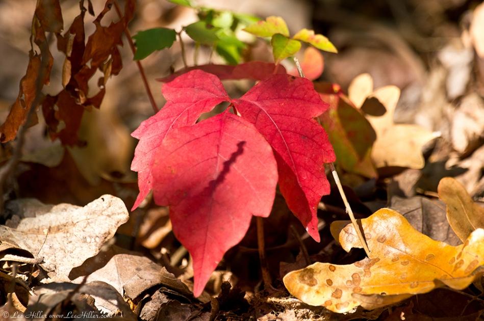 HSNP West Mt Oak Trail Autumn Leaves