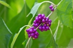 HSNP Upper Dogwoodl Trail American Beautyberry Gallon Plant