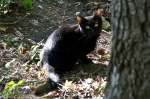 HSNP West Mt Oak Trail Stray Feral Black Kitten