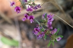 HSNP Goat Rock Trail Slender Bush Clover