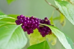 HSNP Sunset Trail American Beautyberry Gallon Plant
