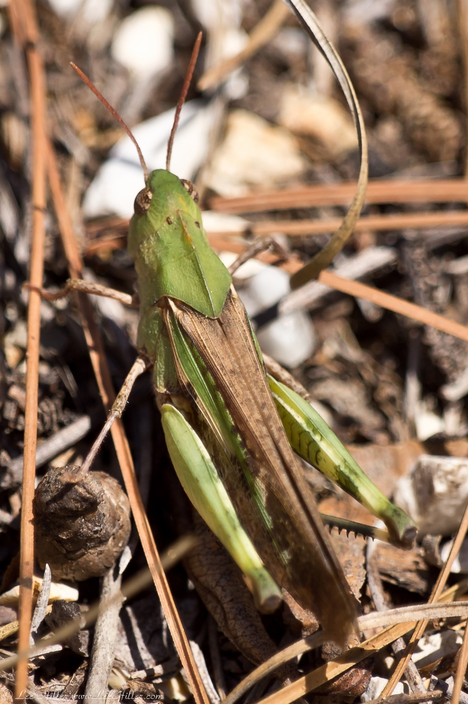 HSNP Goat Rock Trail Flying Yellow Winged Grasshopper
