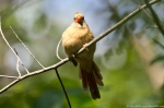 HSNP West Mt Oak Trail Female Cardinal