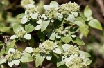 HSNP North Mt Loop Hoary Mountain Mint