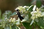 HSNP North Mt Loop Hoary Mountain Mint Great Black Wasp