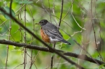 HSNP West Mt Oak Trail American Robin