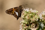 HSNP North Mt Loop Hoary Mtn Mint Silver Spotted Skipper