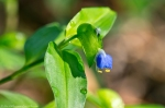 HSNP West Mt Oak Trail Asiatic Dayflower