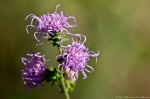 HSNP West Mountain Trail Southern Blazing Star