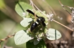 HSNP North Mt Loop Hoary Mtn Mint Black & White Wasp