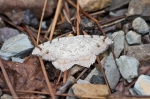 Hot Springs Mountain Trail Grey Moth