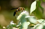 HSNP North Mt Loop Hoary Mtn Mint Black & Yellow Wasp