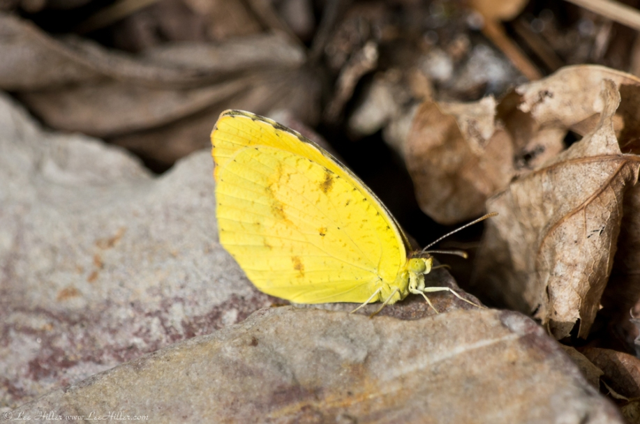 HSNP West Mt Oak Trail Orange Barred Sulphur