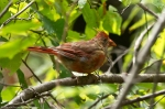 Hot Springs Mountain Trail Juvenile Male Cardinal