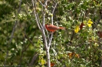 HSNP West Mountain East Side Picnic Area Male Cardinal