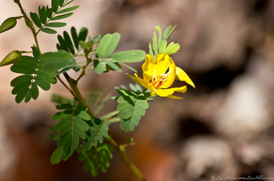 HSNP West Mountain Top Trail Partridge Pea