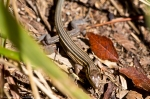 HSNP West Mt Sunset Trail Prairie Racerunner