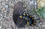 HSNP West Mt Canyon Trail Spicebush Swallowtail Butterfly