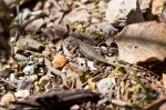 HSNP West Mt Sunset Trail Baby Prairie Lizard