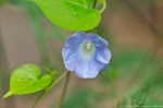 HSNP Hot Springs Mountain Road  Ivyleaf Morning-Glory