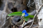 HSNP Sunset Trail Asiatic Dayflower