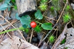 HSNP Sunset Trail Star Moss and Red Berry