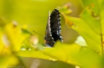 HSNP Sunset Trail Red Spotted Purple Butterfly