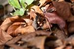HSNP Sunset Trail Baby Prairie Lizard