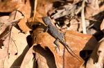 HSNP Sunset Trail Baby Prairie Lizard