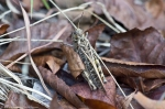 HSNP Sunset Trail Grasshopper