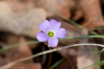 HSNP Sunset Trail Purple Oxalis