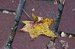 HSNP Promenade Autumn Leaf