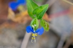 HSNP West Mountain Asiatic Dayflower