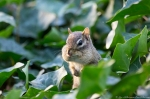 HSNP Promenade Chipmunk Pops Up in the Ivy