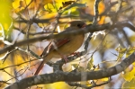 Lake Catherine Sate Park Horseshoe Mt. Trail Female Cardinal