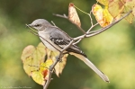 HSNP Promenade Northern Mockingbird
