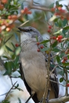 HSNP West Mountain Northern Mockingbird