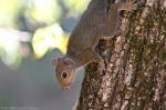 HSNP Promenade baby Squirrel