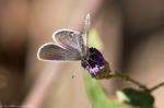 HSNP North Mt Loop Gray Hairsreak Butterfly on Aster Bud
