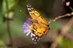 HSNP North Mt Loop Aster On American Lady Butterfly