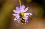 HSNP West Mt Oak Trail  Aster False Bee