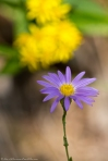 HSNP West Mt Oak Trail  Aster