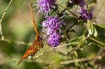 HSNP North Mt Loop Fritillary, Gulf Butterfly Southern Blazing Star