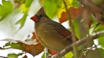 HSNP Hot Springs Mountain Trail Autumn Fog Female Cardinal