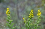 HSNP Hot Springs Mountain Trail Solidago ssp