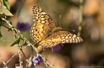 HSNP North Mt Loop Variegated Fritillary Butterfly on Aster