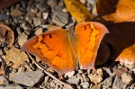 HSNP Goat Rock Trail Question Mark Butterfly
