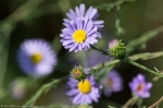HSNP North Mt Loop Aster