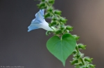 HSNP Hot Springs Mountain Road Ivy Leaf Morning Glory