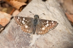 HSNP North Mt Loop Common Checkered Butterefly on Rock